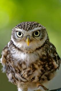 Chouette chevêche - Little Owl