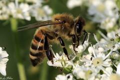 Bee Profile (Luca Bobbiesi) Tags: macro nature bee ape flower fiori trentinoaltoadige canoneos5dmarkiv canonef100mmf28macrousm canonspeedlite580exii