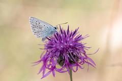 Bläuling auf Blüte (Marcus Hellwig) Tags: bläuling falter blüte schmetterling lycaenidae makro macro natur nature detail commonblue