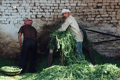 Preparing Greens for Cattle Feed (AdamCohn) Tags: adamcohn bankebiharimandir hindu india shribankeybiharimandir vrindavan holi pilgrim pilgrimage होली