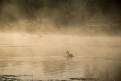 This could be the last time (odell_rd) Tags: harroldodellcountrypark swan mist morning coth5 ngc npc