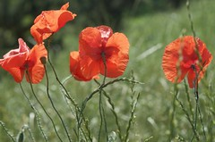 poppies (eva.pave) Tags: nature poppy poppies red dof bokeh bloom blossom