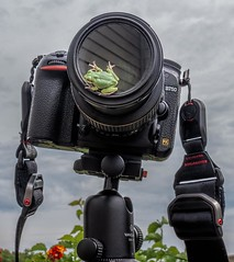 Too Close To Photograph! 2 (Wes Iversen) Tags: d750 grandblanc michigan nikon nikond750 amphibians cameras critters frogs macrolenses photography sky toad treefrogs nikkor18300mm