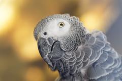 Perroquet (Les Billardes) Tags: perroquet oiseau gros plan portrait gris yeux bec nature parrot canon eos 7dmarkii france parc bird closeup grey