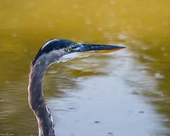 Lookout (Fred Roe) Tags: nikond810 nikkorafs80400mmf4556ged nature wildlife birds birding birdwatching birdwatcher heron greatblueheron ardeaherodias peacevalleypark