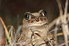 Western Spadefoot Toad (Pelobates cultripes) (Sky and Yak) Tags: pelobates cultripes pelobatescultripes western spadefoot toad westernspadefoottoad amphibian frog nature naturalworld spain nocturnal sand eye shine oliva valencia