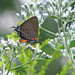 Great purple hairstreak - foty/RARE