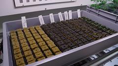 Keimbox - kleine Steinwolleblöcke mit frisch ausgesäten Samen