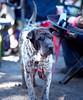 S1020072 -970w FB (candhnorris) Tags: hermitfest sharpeimixedbreed uglydog brownandwhitedog
