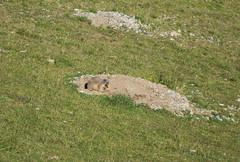 Murmeltier am Nachmittag, Nähe Tuxer Joch (Michael Reichert) Tags: marmot murmeltier austria österreich zillertal