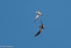 Sparvhök leker med Tornfalk (Hans Olofsson) Tags: bird fågel fågelar ottenby sparvhök sweden raptors öland kestrel tornfalk sparrowhawk