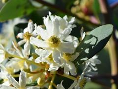 Drimys winteri in the Mixed Border (dracophylla) Tags: royaltasmanianbotanicalgardens mixedborder pepperbark winteraceae drimyswinteri