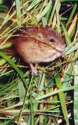 Photo - Preble's Meadow Jumping Mouse