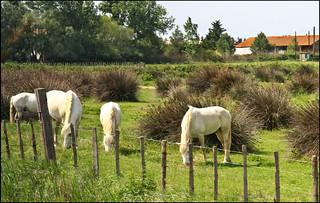 I cavalli della Camargue