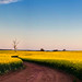 Canola (Nash DiDi) Tags: canola sunset yellow fields path tree