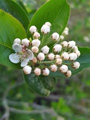 Pyrus (Iggy Y) Tags: pyrus spring blossom flower white color flowers green leaves nature garden plant bud kruška pear day light