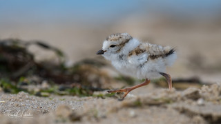 Piping Plover   2018 - 40