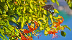 Up Up and Away !! (Bob's Digital Eye) Tags: action aug2018 blackswallowtail bobsdigitaleye bokeh butterfly canon canonefs55250mmf456isstm depthoffield flicker flickr flight flower insect plant t3i tigerlily