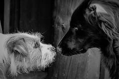 Sara. White and black dog. 34/52 (Tõnno Paju) Tags: dog 52weeksfordogs pet animal nikon sigma dogs sara black white blackandwhite
