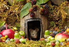 wild mouse with fruits and berry's (11) (Simon Dell Photography) Tags: wild george log pile house mouse nature garden animal rodent cute fun funny summer fruits berries berrys display lots bounty moss covered simon dell photography sheffield 2018 aug cool awesome countryfile ears close up high detail cards design
