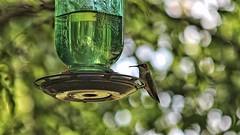 Ruby-throated Hummingbird (female) (Steve InMichigan) Tags: hummingbird rubythroatedhummingbird birds northamericanbirds michiganbirds canoneosmcamera kiron70150mmf38 fotasyfdfleosmlensadapter bokeh