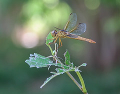 Floyd Lamb Park-2903 (smiller_rrc) Tags: dragonfly insects