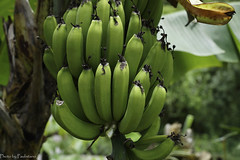 Banana bunch / Банановая гроздь (Vladimir Zhdanov) Tags: travel mexico chiapas selva rainforest banana plant nature tree wood