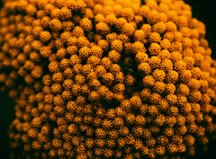 golden (Francis Mansell) Tags: flower gold inflorescence plant nikanalogefexpro2 kew kewgardens royalbotanicgardenskew macro texture