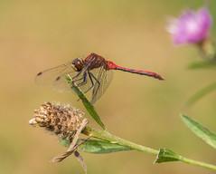Meadow Hawk ♂ (claudiaulrikegoodall) Tags: purple