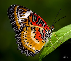 Leopard Lacewing (jt893x) Tags: 105mm afsvrmicronikkor105mmf28gifed butterfly cethosiacyane d810 insect jt893x lacewing leopardlacewing macro male nikon thesunshinegroup coth alittlebeauty sunrays5 coth5 ngc