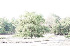 Highkey landscape (Hamert NL) (Renate van den Boom) Tags: 08augustus 2018 boom europa hamert highkey jaar landschap limburg maand maasduinen natuur nederland renatevandenboom stijltechniek