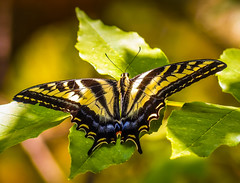 """Forest Beauty"" Western Tiger Swallowtail (Cathy Lorraine) Tags: beautiful butterfly swallowtail nature outdoors forest trees leaves california foothills summertime macro light shadows park"