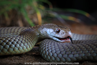 portrait: king brown snake