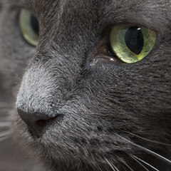 The cat... -[ HMM ]- (Carbon Arc) Tags: macromondays definingbeauty beauty cat feline face eyes nose whiskers fur green grey gray blue lovecraft quote