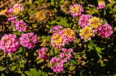 Lantana Blooms (http://fineartamerica.com/profiles/robert-bales.ht) Tags: aupload arizona foothills haybales lantana people photo places plants projects states garden nature background green yellow leaf flower pink color flora summer bloom closeup blooming beautiful ornamental beauty petal floral blossom colorful tropical red orange herbal outdoors shrub herb asia season plant natural gardening spring botany verbena botanical flowers pretty decorative detail verbenaceae photography horizontal wallpaper vibrant springtime inflorescence umbels herbaceous robertbales yuma vignette