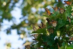 A gathering of Monarchs (Wild Bill in MN) Tags: monarch danausplexippus orange butterfly migration sonya6300 sony70300g mirrorless