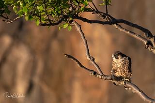 Peregrine Falcon - Falco peregrinus | 2018 - 17