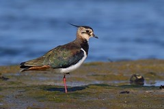 Lapwing 115606 (wildlifetog) Tags: loiseau lapwing newtown isleofwight uk mbiow marsh blackmore britishisles britain bird birds british wild wildlife nature canon england european eos7dmkii