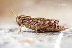 Caliptamus sp. (Matthieu Berroneau) Tags: macro 28 insect invertebrate invertebrado nature wildlife 90 animal animaux ff 24x36 full frame sony alpha france a7ii 7ii 7mk2 sonyilce7m2 fe f28 g oss fe90f28macrogoss sonyfesonyfe2890macrogoss objectifsony90mmf28macrofe sel90m28g grasshopper caliptamus criquet