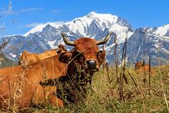 Pâturages  avec  vue  sur le Mont-Blanc (Massif du  Beaufortin * Savoie 08/2018) (gerardcarron) Tags: animaux beaufortin canon80d ciel ete landscape montagne paysage savoie vaches lessaisies