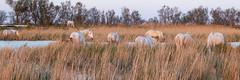 Chevaux de Camargue (Xtian du Gard) Tags: xtiandugard camargue nature chevaux troupeau gard saintesmariesdelamer goldenhour 3x1 panoramique animaux france europe
