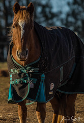 IMG_7184 (James Goff Photography) Tags: horses horse photography horsephotography equine equines equinephotography photographer equinephotographer horsephotographer pferd pferdfotografie mustangs mustang demandthebrand equineportrait horseportrait nature naturephotography animals animalphotography animalphotographer canon canon80d canon5d canon70200 jamesgoffphotography