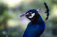 "A Peacock At The Summer Palace, Buhkara (El-Branden Brazil) Tags: bukhara uzbekistan asia central asia"" peacock bird nature"