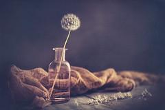 Dandelion (Ro Cafe) Tags: nikkor105mmf28 sonya7iii stilllife dandelion seeds setup bottle naturallight dark textured
