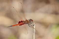 Common Glider Dragonfly (male) (petefeats) Tags: trapezostigmaloewii australia birds brisbane commongliderdragonfly dragonflies insects nature queensland sandycamproadwetlands tramealoewii wynnumwest male
