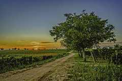 the dirt road (a7m2) Tags: austria burgenland neusiedl mönchhof landwirtschaft weinbau schlosshalbturn travel tourismus neusiedlersee seewinkel natur dorfmuseum feldweg mais felder getreide obst bäume traktoren mähdrescher weinlese