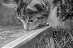 purrific (chryssiesgreece) Tags: cambridge ellie cat pet kitten