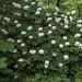 Hydrangea quercifolia (oakleaf hydrangea)