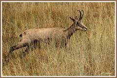 Chamois herbes 180907-01-P (paul.vetter) Tags: chamois gemse