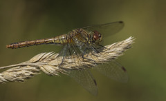 Darter (Ann and Chris) Tags: darter dragonfly wildlife nature macro insect otmoor